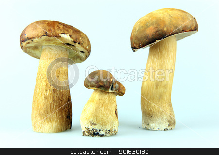 Mushrooms - Porcini, Boletus edulis stock photo, Mushrooms - Porcini, Boletus edulis by Nenov Brothers Images