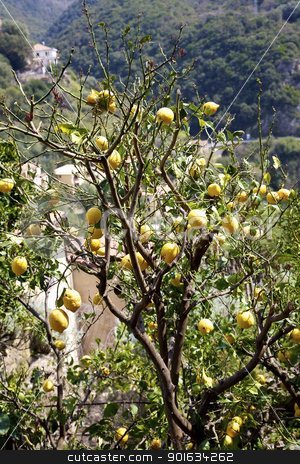 Beautiful lemon on a tree in south of italy stock photo, Beautiful lemon on a tree in south of italy by federico marsicano
