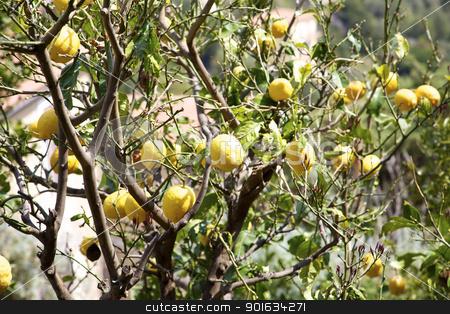 Many big lemons on a tree stock photo, Many big lemons on a tree in south of italy by federico marsicano