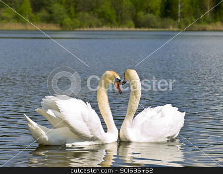 swans  stock photo, Two white swans in love emotions at the lake by Sergej Razvodovskij