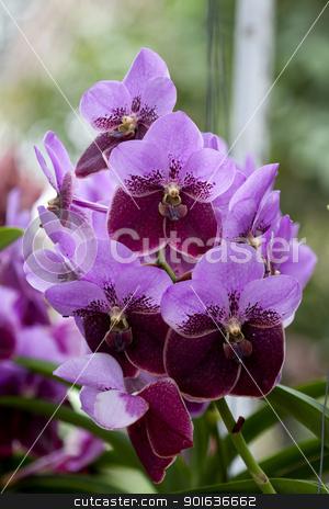 Beautiful purple and brown Orchid, Vanda hybrids in garden stock photo, Beautiful purple and brown Orchid, Vanda hybrids in garden by kamonrat