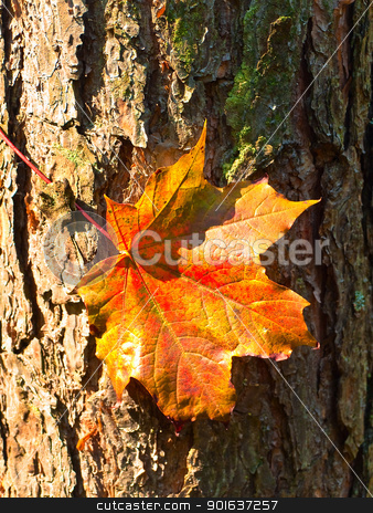maple red leaf at the bark stock photo, maple red leaf at the bark in the forest by Sergej Razvodovskij