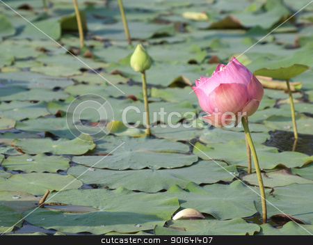Lotus stock photo, Pink lotus flower blossom with lotus foliage by Exsodus