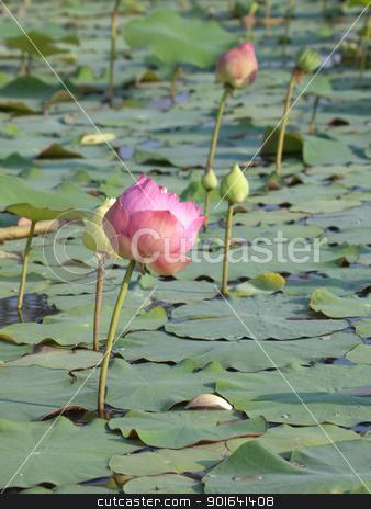 Lotus stock photo, Pink lotus flower blossom with lotus foliage by Exsodus