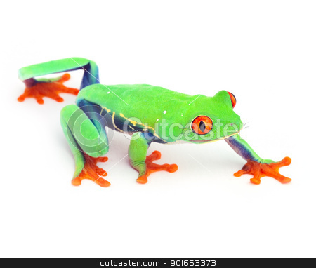 red eye treefrog stock photo, red eye treefrog frog crawling macro isolated exotic curious animal bright vivid colors of tropical rain forest Costa Rica cute and funny amphibian by Dirk Ercken