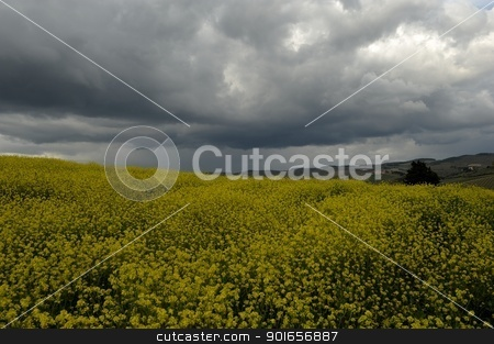 Dramatic sky   stock photo, Beautiful gray clouds on a canola field in Tuscany by Maurizio Martini