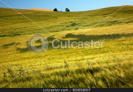 Green Wheat Grass Patterns Blue Skies Palouse Washington State stock photo, Green Wheat Grass Fields Patterns Blue Skies Palouse Washington State Pacific Northwest by William Perry