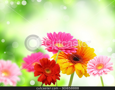 colored gerberas flowers  stock photo, colored gerberas flowers  by christless
