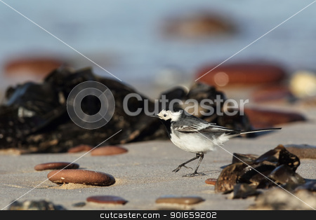 White Wagtail (Motacilla alba) stock photo, White Wagtail (Motacilla alba) on the beach of Heligoland. by DirkR