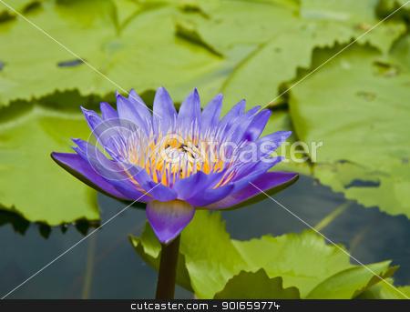 Purple lotus flower blooming  stock photo, Purple lotus flower blooming , in pattaya city by thepoo
