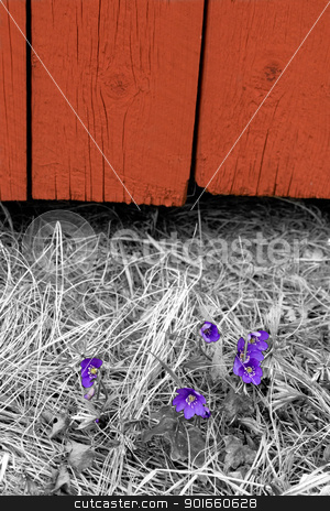 Hepatica out at the barn wall stock photo, Hepatica out at the barn wall, background by Seija Pekkarinen