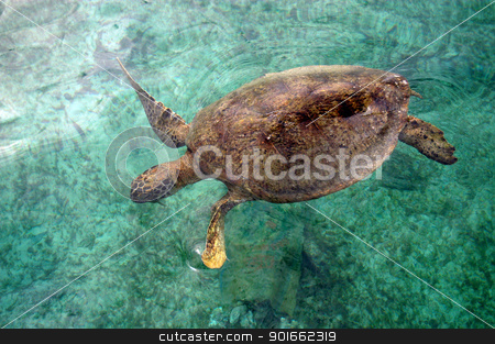 turtle stock photo, a turtle was swimming in shallow coastal                                 by antonihalim
