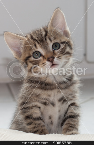 How Cute Am I? stock photo, Close up of a 8 week kitten by Paul Murray Photography