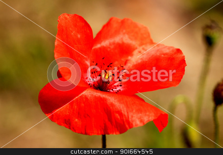 red poppy close up in a field in summer stock photo, red poppy close up in a field in summer by Chretien