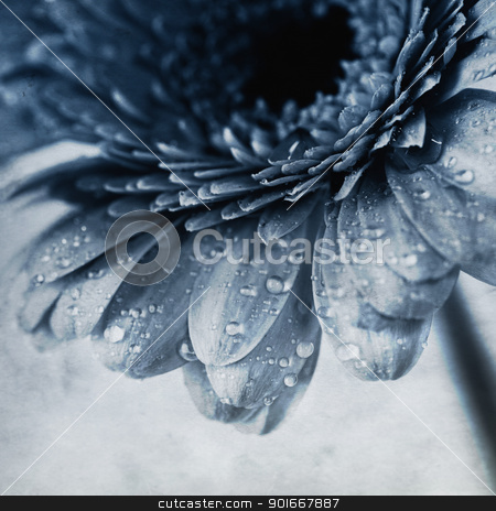 gerbera flower stock photo, Close up abstract of colorful pink daisy gerbera flower by klenova