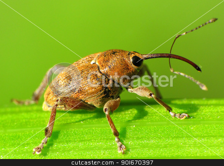 Snout beetle with a very long snout. stock photo, Cute and amazing snout beetle with a very long snout. Macro picture by Toke Andreasen
