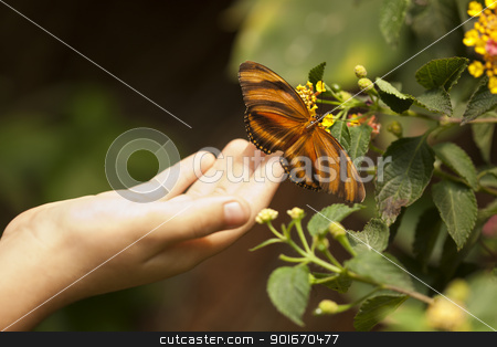 Child Hand Touching an Oak Tiger Butterfly on Flower stock photo, Child Hand Touching a Beautiful Oak Tiger Butterfly on Flower. by Andy Dean