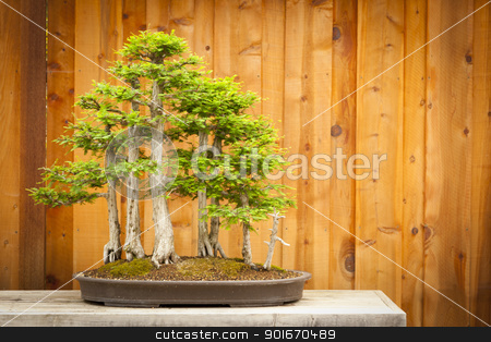 Bald Cypress Bonsai Tree Forest Against Wood Fence stock photo, Beautiful Bald Cypress Bonsai Tree Forest Against A Wood Fence. by Andy Dean