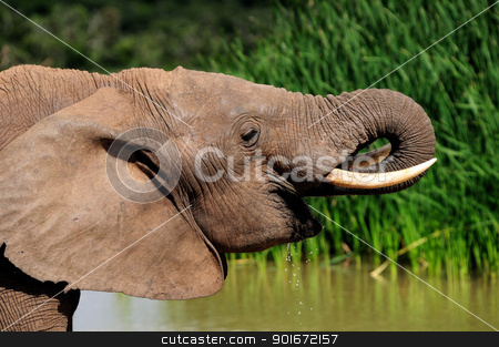 Elephant drinking water at Harpoor Dam stock photo, Elephant drinking water at Harpoor Dam, Addo Elephant National park, South Africa by Grobler du Preez