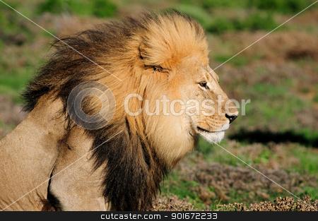A Kalahari lion, Panthera leo, in the Addo Elephant National Par stock photo, A Kalahari lion, panthera leo, in the Kuzuko contractual area of the Addo Elephant National Park in South Africa by Grobler du Preez