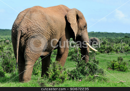 Elephant, Addo Elephant National park, South Africa stock photo, Male Elephant in the Addo Elephant National Park, South Africa by Grobler du Preez