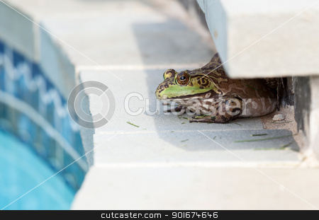 Bullfrog crouching under edge of pool stock photo, Large female bullfrog sitting in shade at edge of tiled swimming pool by Steven Heap