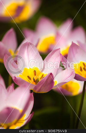 Small lilac tulips in spring stock photo, Small lilac tulips with yellow heart in spring by Colette Planken-Kooij
