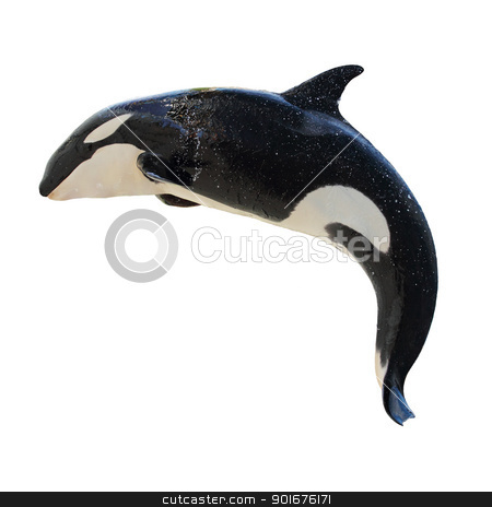Leaping KillerWhale, Orcinus Orca stock photo, A leaping Killer Whale, Orca Orcinus, isolated on white  by Mike Price