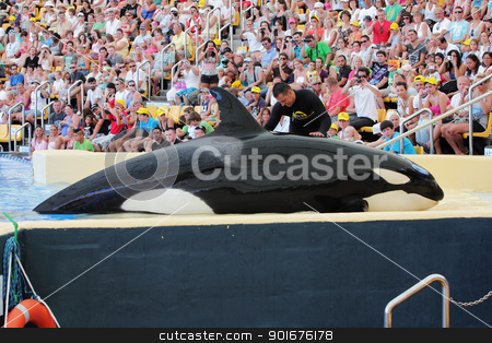 Killer Whale being petted stock photo, PUERTO DE LA CRUZ, TENERIFE - AUGUST 31: New Orca Ocean exhibit has helped the Loro Parque become Tenerife's second most popular attraction on August 31, 2011 in Puerto De La Cruz, Tenerife. by Mike Price