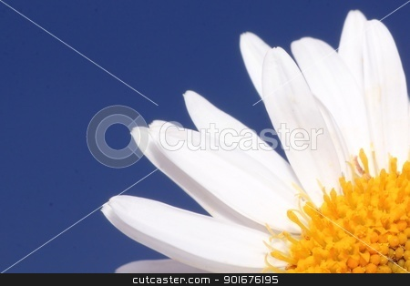 white aster flower stock photo, Quarter of white aster flower by Radovan Minarcik