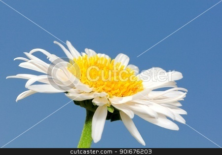 White aster flower stock photo, White aster flower closeup isolated on blue sky background by Radovan Minarcik