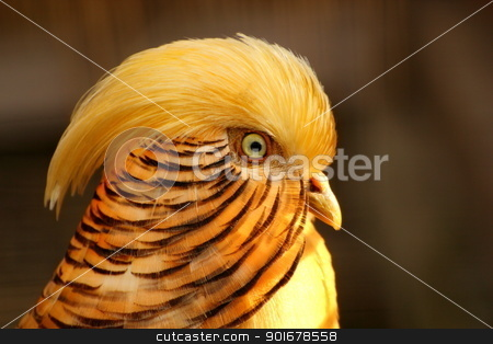 golden pheasant stock photo, Chrysolophus pictus - male golden pheasant portrait  by coroiu octavian