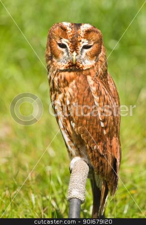 Eurasian Tawny Owl or Strix aluco stock photo, Eurasian Tawny Owl or Strix aluco in captivity sitting on perch by Colette Planken-Kooij