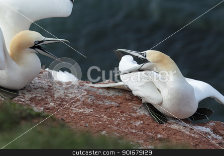 Northern Gannets (Morus bassanus) stock photo, Two Northern Gannets (Morus bassanus) in a territorial fight on Heligoland. by DirkR