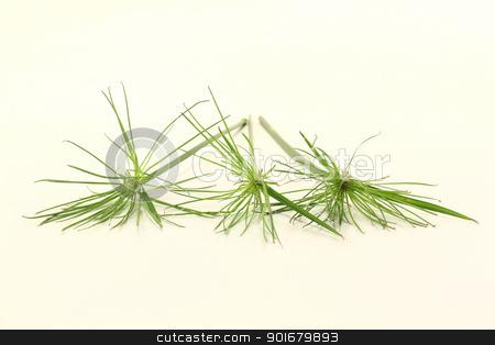 Papyrus stock photo, fresh green papyrus plants on a light background by Marén Wischnewski