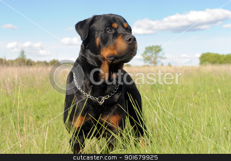rottweiler stock photo, portrait of a purebred rottweiler in a field by Bonzami Emmanuelle