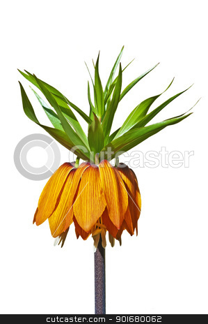 crown imperial, Fritillaria imperialis stock photo, crown imperial, Fritillaria imperialis by Hans-Joachim Schneider