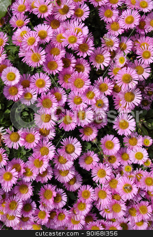 Colorful pink Aster Alpinus flowers. stock photo, Colorful pink Aster Alpinus flowers. by Stephen Rees