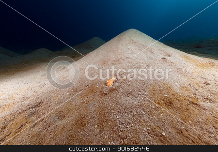 Comb sea star missing legs in the Red Sea. stock photo, Comb sea star missing legs in the Red Sea by stephan kerkhofs