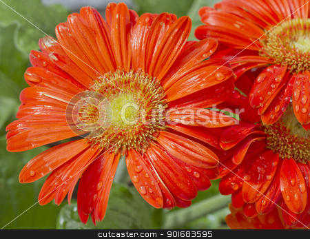 Gerbera stock photo, Close up of a wet red gerbera  by Fabio Alcini