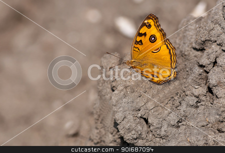 Peacock Pansy, Junonia almana, butterfly,dry mud,wings spread,ou stock photo, Peacock Pansy, Junonia almana, butterfly sitting on dried mud with both wings spread with out of focus background and copy space by Srijan Roy Choudhury