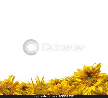 Sunflowers stock photo, Beautiful frame of colorful yellow sunflowers isolate on white by Exsodus