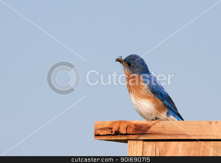 Eastern Bluebird with Insect stock photo, An Eastern Bluebird with an insect in its beak. by Delmas Lehman