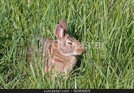 Wild North American Rabbit stock photo, A wild rabbit hiding in tall meadow grass. by Delmas Lehman