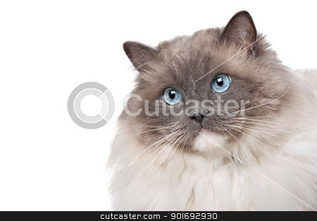 Ragdoll cat stock photo, Ragdoll cat in front of a white background by Erik Lam