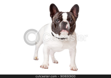 Cute French Bulldog stock photo, Cute French Bulldog standing on a white background by Erik Lam
