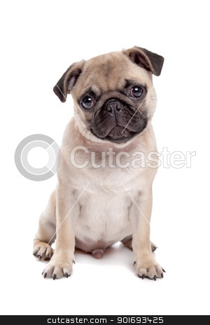 Pug dog stock photo, Pug dog in front of a white background by Erik Lam