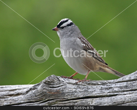 Upright White-crowned Sparrow stock photo, A perched White-crowned Sparrow (Zonotrichia leucophrys) sittings on a log.  by Chris Hill