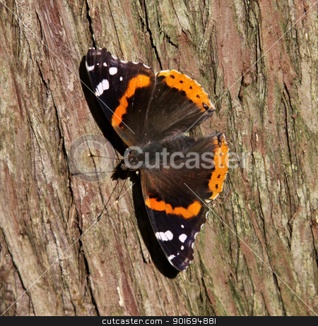 Sunbathing Red Admiral Butterfly stock photo, A sunbathing Red Admiral (Vanessa atalanta) on a cedar tree. by Chris Hill