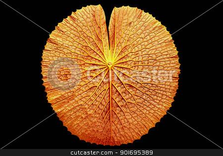 texture of Victoria lotus leaf  stock photo, texture of Victoria lotus leaf  by photomyheart